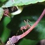 Animal Planet Live: муравьи