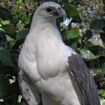 Белобрюхие орланы