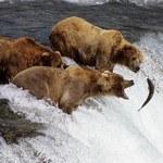 Бурые медведи на реке, Аляска
