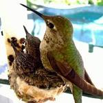 Гнездо колибри Эммы