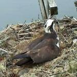 Гнездо скопы, остров Хог