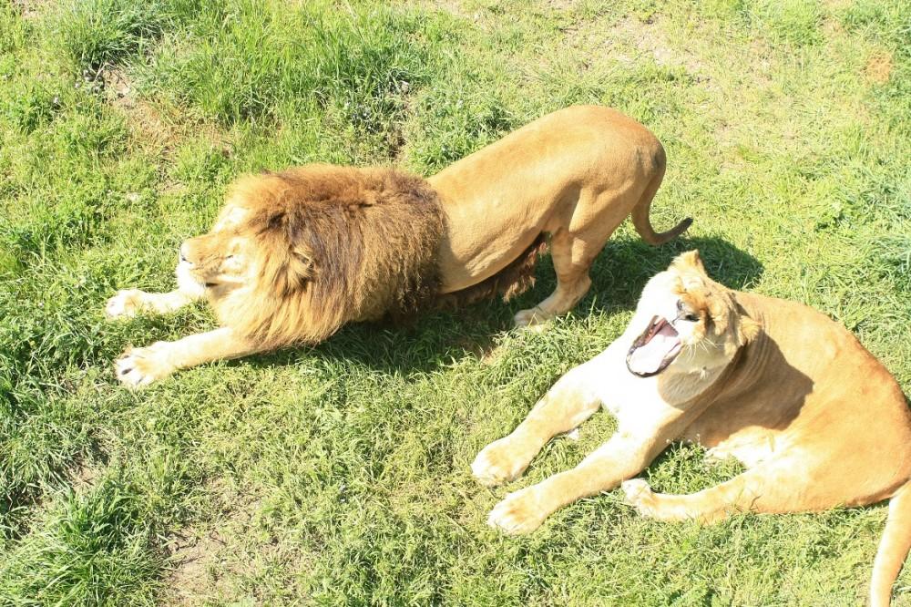 Ольборгский зоопарк, Львы