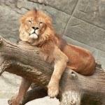 Львы/гиены в зоопарке Милуоки