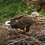Орланы-белохвосты, Латвия