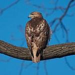 Птицы Калифорнии