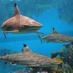Рифовые акулы в океанариуме Балтимора
