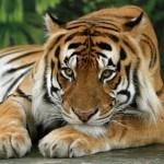 Тигры в зоопарке Милуоки