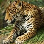 Ягуары в зоопарке Милуоки